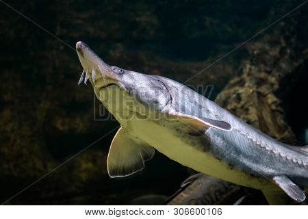 Sturgeons Swims Underwater. Live Sturgeon In Large Aquarium Close-up.