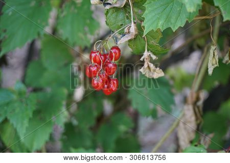 A Cluster Of Ripe Poisonous Red Berries Dangles On A Bittersweet Nightshade Plant (solanum Dulcamara