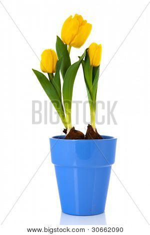 Yellow tulips flower bulbs isolated over white background