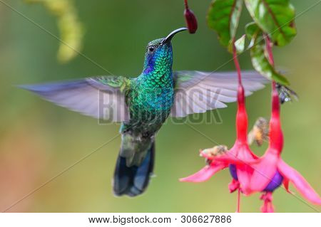 Blue Hummingbird Violet Sabrewing Flying Next To Beautiful Red Flower. Tinny Bird Fly In Jungle. Wil