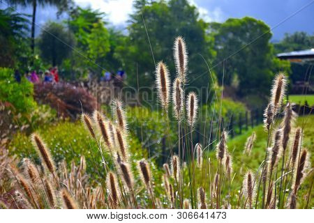 Sunlight Shining Through The Feathery Flowerheads Of The Native Australian Grass Swamp Foxtail, Cenc