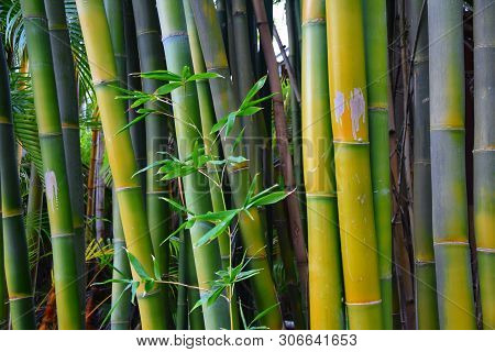 The Texture Of Green Bamboo, A Hedge Of Bamboo And Flowers. Bamboo Branch In Bamboo Forest , Beautif