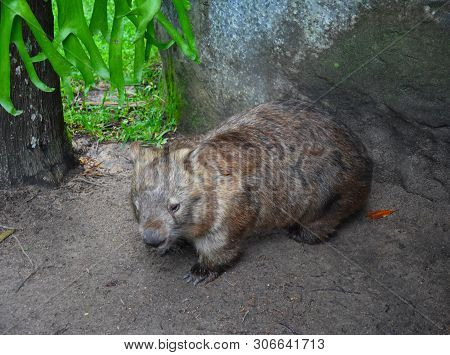 Australian Wombat Juvenile Vombatus Ursinus. Common Wombat (vombatus Ursinus). Wild Life Animal In A