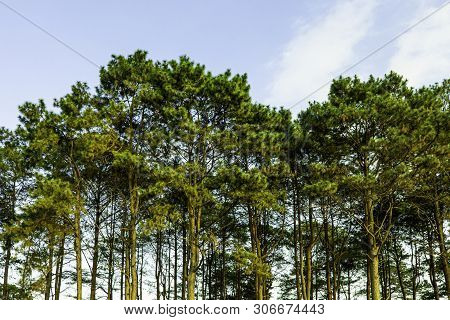 Green Pine Tree With Blue Sky On The Peak Of Mountain, Green Tree Forest In Dawn Time, Phu Tub Berk