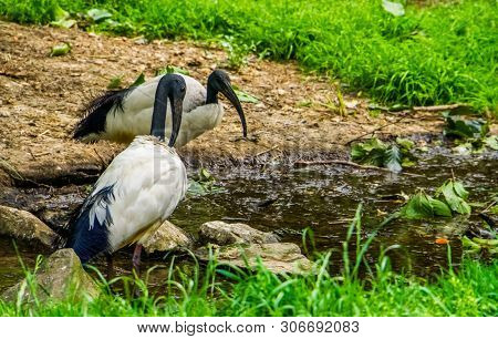 Two African Sacred Ibises Together At The Water Side, Tropical Wading Bird Specie From Africa