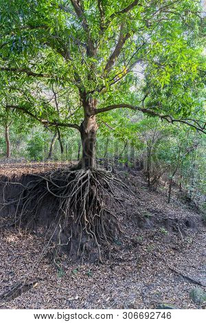 Still A Green Tree, But Already Devoid Of Soil Under The Roots Due To Soil Erosion Caused By Human A