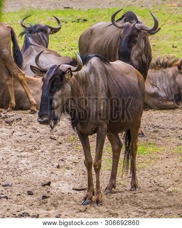 portrait of a brindled gnu in closeup with the herd in the background, popular safari animals, tropical antelope specie from Africa poster