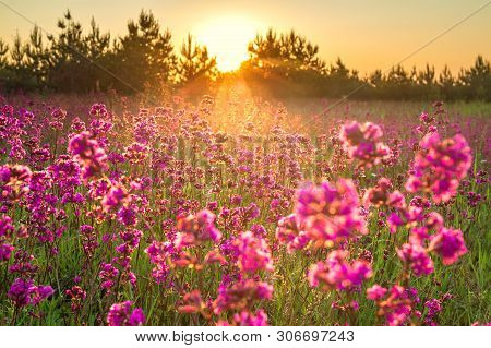 Beautiful Spring Landscape With Blooming Purple Flowers In Meadow And Sunrise. Blurred Scenery Backg