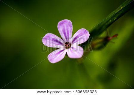 Geranium Robertianum Flower Geraniaceae Family Macro Background Fine Art In High Quality Prints Prod