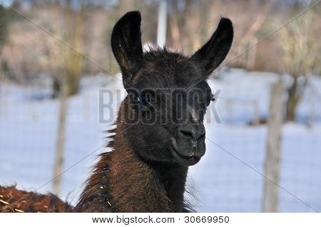 llama close-up