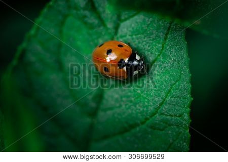 Ladybug Eating On A Leaf, Coccinellidae, Arthropoda, Coleoptera, Cucujiformia, Polyphaga
