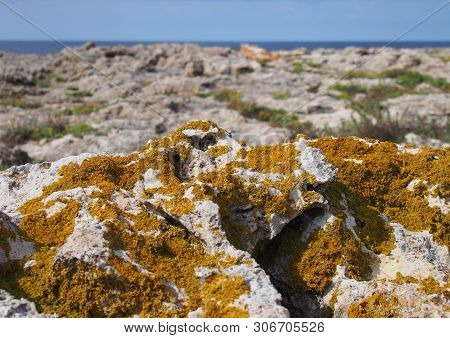 Orange Xanthoria A Lichenized Fungus Growing On Limestone Coastal Bedrock With Cliffs And Sea In The