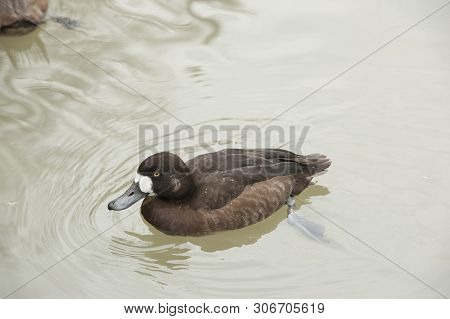 Blue Winged Teal (anas Discors) Swims In The Pond At A Bird Park. This Is A Male Adult Breeding Blue