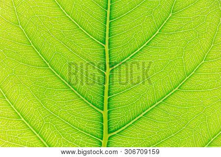 Leaf Nature Background. Nature Background Of Leaves. Tree Leaves Nature Background. Close Up Backgro