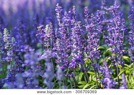 Blue Salvia Flower. Purple Flower And Green Leaf In Garden. Flower At Sunny Summer Or Spring Day. Fl