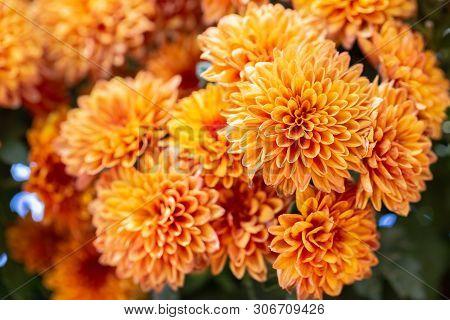 Orange Dahlias Flower. Flower In Garden At Sunny Summer Or Spring Day. Flower For Postcard Beauty De