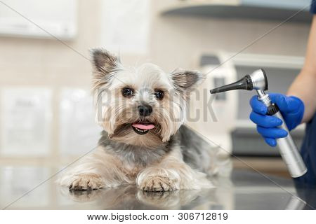 Beautiful Vet Doctor Examines A Small Cute Dog Breed Yorkshire Terrier With The Help Of An Otoscope