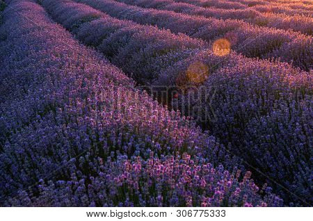 Flowers In The Lavender Fields In The Provence Mountains.