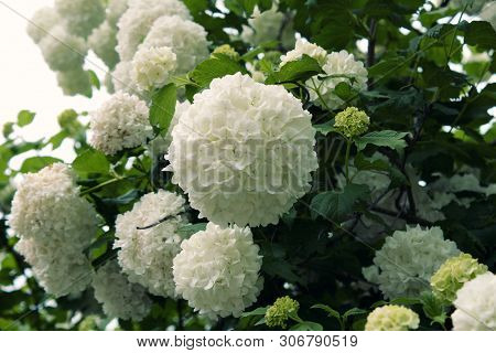 A Lot Of White Flowers Of Viburnum Macrocephalum.viburnum Macrocephalum , Common Name Chinese Snowba
