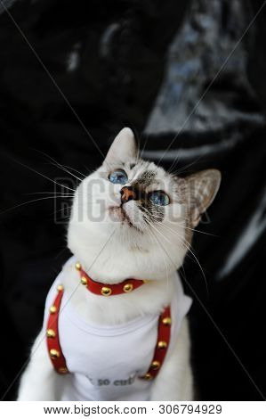 White Blue-eyed Cute Cat Dressed In T-shirt And A Red Leather Harness. Stylish Outfit With Accessori
