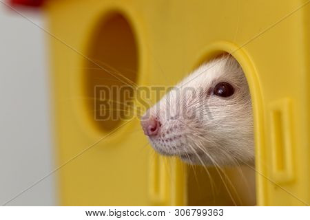 Funny Young White And Gray Tame Curious Mouse Hamster Baby With Shiny Eyes Looking From Bright Yello