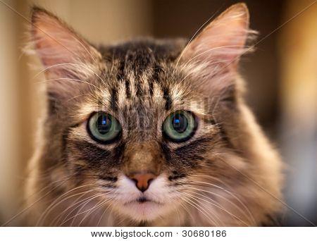 Head Cat portrait full face