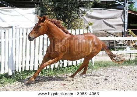 Beautiful healthy youngster canter against white paddock fence poster