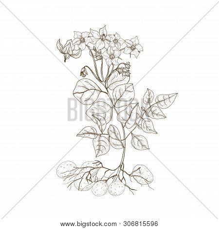 Monochrome Outline Drawing Of Potato Plant With Flowers, Roots And Tubers. Edible Cultivated Tuberou