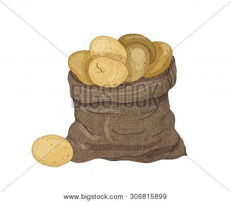 Natural Drawing Of Potato Tubers In Burlap Bag. Gathered Raw Tuberous Food Crops. Ripe Fresh Organic
