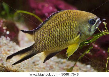 Azores chromis (Chromis limbata), also known as the Atlantic chromis.