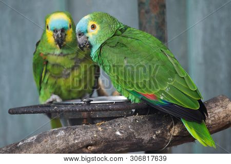 Turquoise-fronted amazon (Amazona aestiva), also known as the blue-fronted parrot.