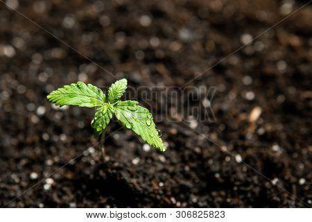 A Cannabis Seedling Of Small Plant. Seedling In The Ground In The Sun, Cultivation In An Indoor Mari