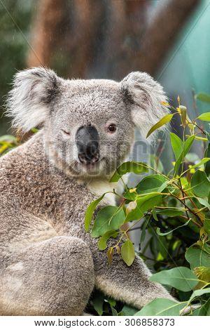 Funny koala animal winking blinking cute wink at camera at Sydney Zoo in Australia. Australia wildlife animals.
