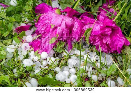 Damaged Flowers By Large Hails After Handstorm