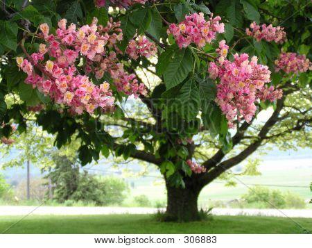 Pink Horse Chestnut