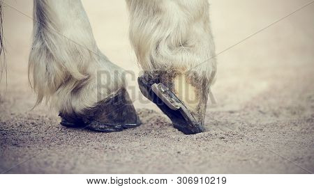 Hooves With Horseshoes Horse With White Legs. Legs Of The Horse.