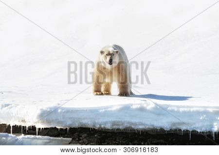 Adult male polar bear stands at the edge of the fast ice in Svalbard, a Norwegian archipelago between mainland Norway and the North Pole