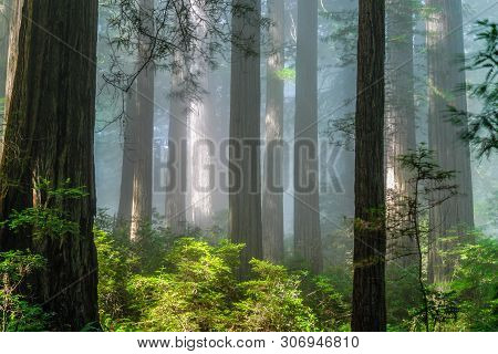 Damnation Creek Redwoods In Redwood National Park In California, United States