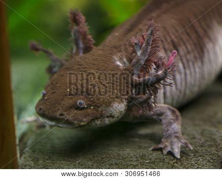 Axolotl (Ambystoma mexicanum), also known as the.