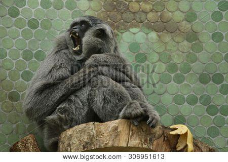 Silvery gibbon (Hylobates moloch). Wildlife animal.