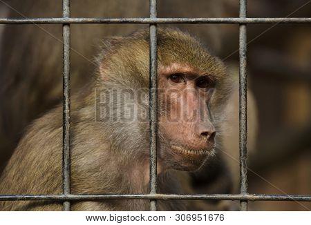 Hamadryas baboon (Papio hamadryas) inside the cage.