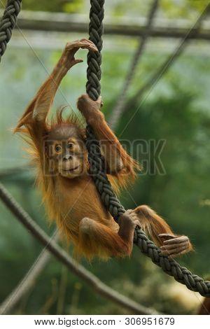 Newborn Sumatran orangutan (Pongo abelii). Wildlife animal.