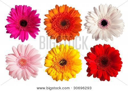 collection of gerber daisy flowers isolated on white poster