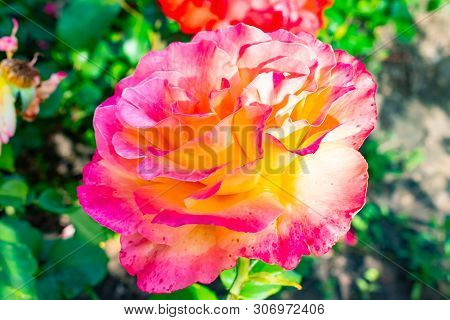 Stock Photo Pink Rose Isolated On Blurry Background