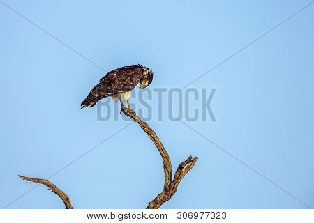 Black-chested Snake-eagle Isolated In Blue Sky In Kruger National Park, South Africa ; Specie Circae