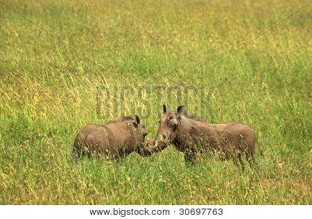 butting warthogs