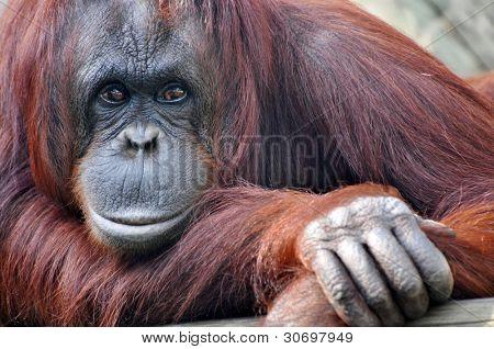 Closeup portrait of a resting mama orangutang.