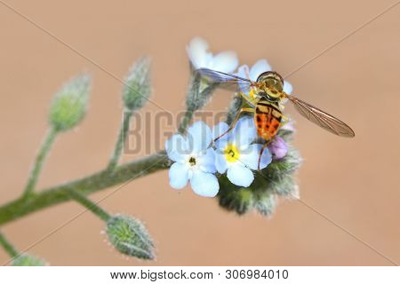 Insect on Forget-Me-Nots flowers seen in summer time
