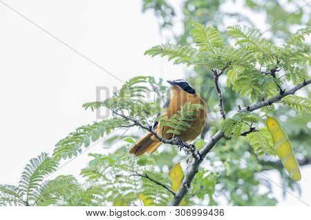 White-browed Robin-chat Male In Kruger National Park, South Africa ; Specie Cossypha Heuglini Family