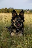 A German Shepard lying in the long grass happily & wearing a black muzzle poster